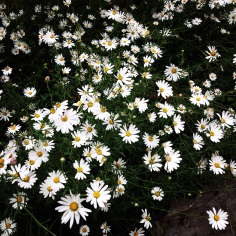 Lucky to have daisies close by.